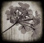 Geraniums by Window - Fine Art Flower Photographs by Christopher John Ball - Photographer & Writer