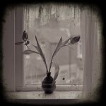 Tulips by Window - Fine Art Flower Photographs by Christopher John Ball - Photographer & Writer