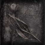Distressed Tulips - Fine Art Flower Photographs by Christopher John Ball - Photographer & Writer